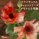 テセウス ラナンキュラス【ギフト鉢植え】希少ラックスシリーズ...