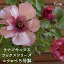 エウロペ ラナンキュラス【鉢植えギフト】希少ラックスシリーズ...