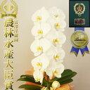 胡蝶蘭 大輪 1本立ち 8輪以上(蕾含む)お祝い ギフト 花...