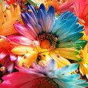 レインボーガーベラ 花束 レインボーガーベラ 25本 花束 サプライズなフラワーギフト レインボーガーベラ