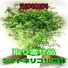 《取り寄せ品》■送料無料■シマトネリコ■BIG150cm■10号鉢■超人気観葉植物■ 【smtb-TD】