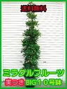 ■送料無料■ミラクルフルーツ■実つき■すっぱいものが甘くなる!?■BIG10号鉢■なんと9980円!■不思議な植物■【smtb-TD】