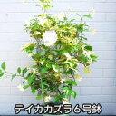 【送料無料】テイカカズラ 6号鉢 2380円! 定家葛【sm...
