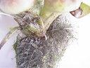 【卵】楊貴妃の卵約30個以上(メダカ、めだか、自由研究に最適)(稚魚用の餌を添付)