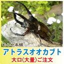 アトラスオオカブト成虫 ペア M〜Lサイズ【10セット】【大口・大量購入】