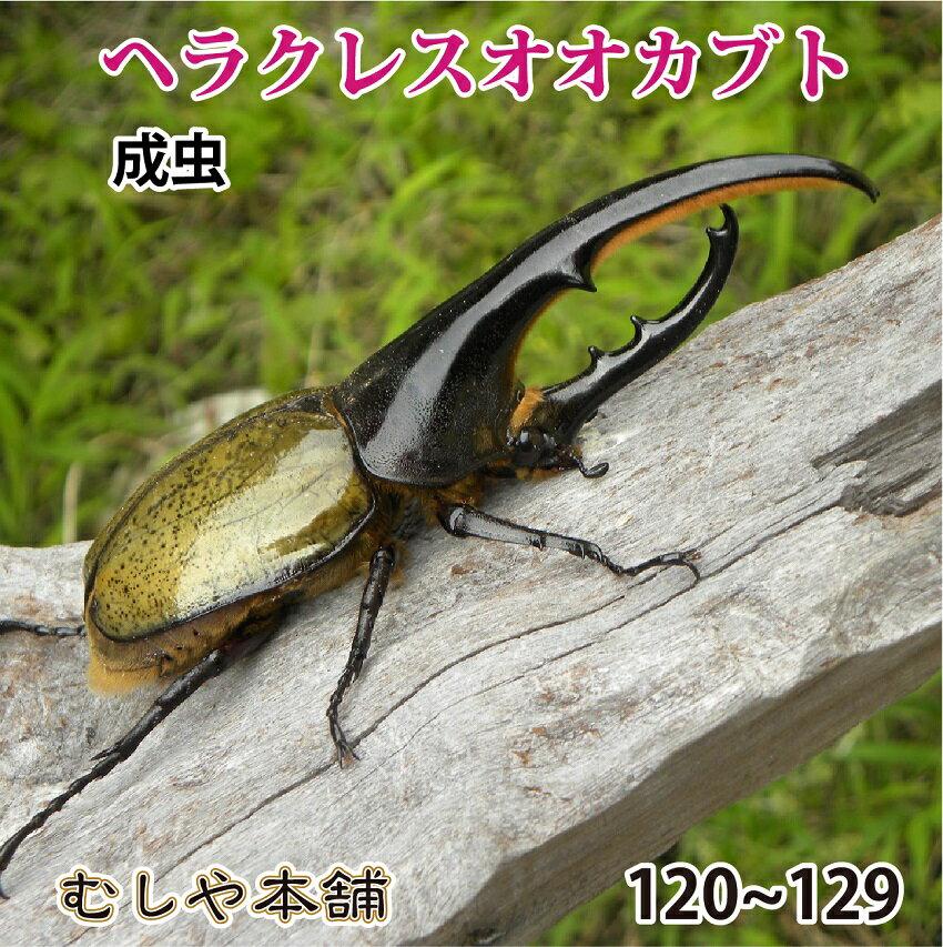 【ヘラクレスオオカブト成虫 オス120mm〜129mm(ヘラクレスヘラクレス)】 外国産 カブトムシ 昆虫 生体 ペット 消費税込 送料無料 プレゼントに