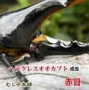 【送料無料】赤目ヘラクレス オオカブト成虫 オスのMサイズ
