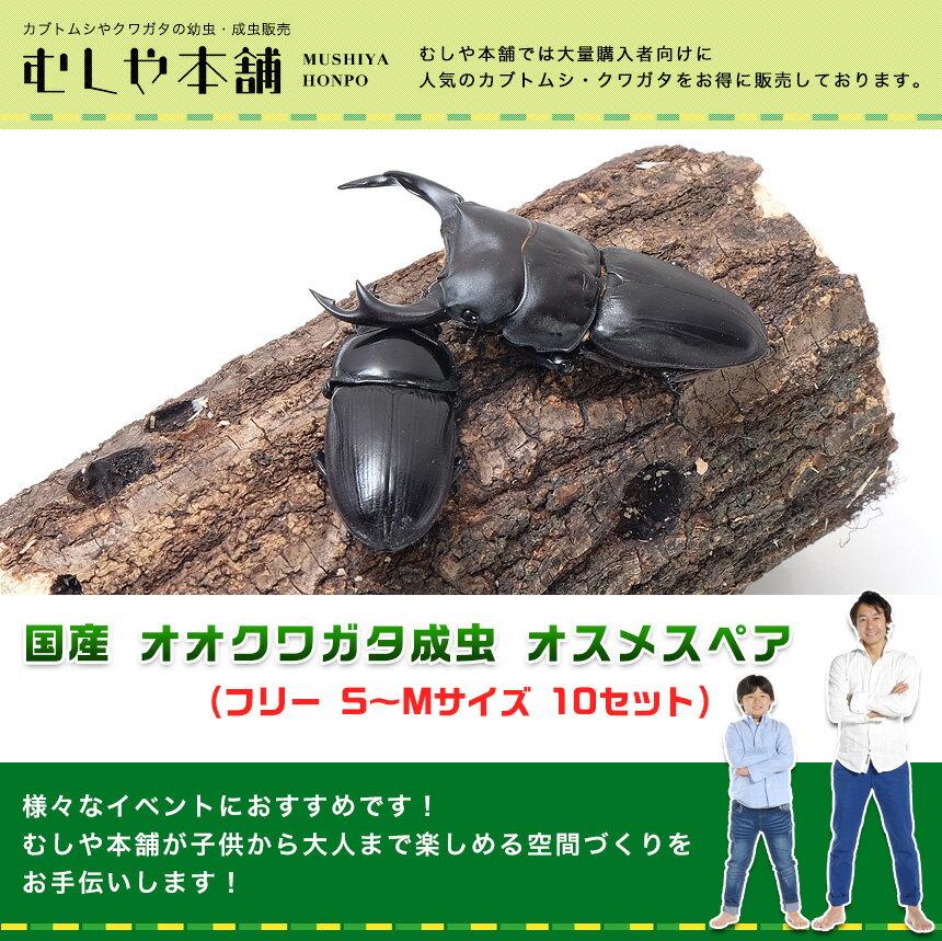 【新成虫!国産 オオクワガタ成虫 ペア(フリーサイズ )S〜Mサイズ10セット 大口・大量購入】クワガタ 昆虫 生体 ペット