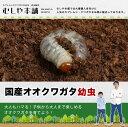 国産 オオクワガタ幼虫 1~2令【300頭】【大口・大量購入】