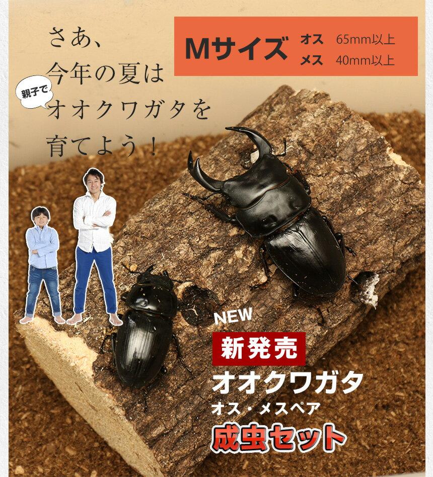 【新成虫!国産オオクワガタ 成虫 オスメスペア ...の商品画像