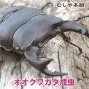 【新成虫!国産 オオクワガタ 成虫 オス Lサイズ】 クワガタ 昆虫 生体 ペット