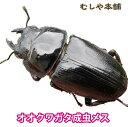 【新成虫!国産 オオクワガタ 成虫 メス Sサイズ 35mm以上】 クワガタ 昆虫 生体 ペット プレゼントに