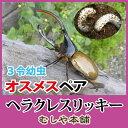 ヘラクレスオオカブト(リッキー) 3令初期 幼虫 オスメスペア