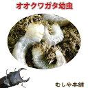 国産 オオクワガタ幼虫 1〜2令【300頭】【大口・大量購入】