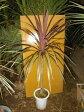 コルディリネ≪レッドスター・10号鉢植え≫コルジリネ★赤ドラセナ★リゾート庭木♪