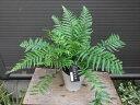 ◆ディクソニア・アンタルクティカ・5号◆♪希少種♪◆観葉植物◆本州四国送料無料!