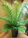 ◆ブレクナム・シルバーレディー・6号◆♪希少種♪◆観葉植物◆本州四国送料無料!