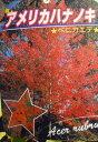 ≪アメリカハナノキ≫★ベニカエデ・160★かえで★楓★本州四国は送料込み!