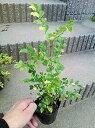 希少!◎斑入りシマトネリコ・20◎フイリシマトネリコ!庭木、鉢植え、観葉植物にも!◎人気常緑樹!送料込(本州四国)!◎