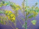 ◎ミモザアカシア◎ギンヨウアカシア・130◎常緑樹◎本州四国は送料無料!