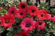 アネモネ・パボニナ赤花系