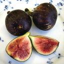 【果樹苗】イチジク「ビオレット・ドゥ・ソリエ」(12cmp) ビオレ・ソリエス