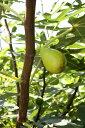 【果樹苗】イチジク「バナナクィーン」(12cmp)