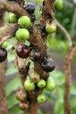 《不思議フルーツ》ジャボチカバ苗木(10.5cmp)