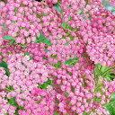 【宿根草】アキレア「ピンク・グレープフルーツ」5号(15cm)ポット