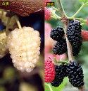【果樹苗】甘い食用クワ2種セット(15cmp)
