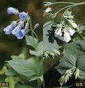 【山野草】エゾルリソウ 紫・白2色セット(各2ポットの計4ポ...