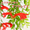 エスキナンサス【ヤフロレピス】5号鉢(吊り)観葉植物 吊り鉢 室内
