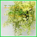 エスキナンサス斑入り【ボレロピコローレ】5号鉢(吊り、バリエガータ)鉢カバー付き 観葉植物