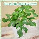 ヒメモンステラ♪4号 観葉植物 姫モンステラ モンステラ・ペルツーサ