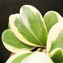 ホヤ★「カーリー」ハート型 ラブラブハート 斑入りバリエガータ 多肉植物 タニクショクブツ