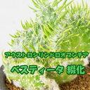 ベスティータ 綴化 3号 多肉植物 タニクショクブツ サボテン ko