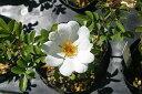 ヤエヤマノイバラ(八重山ノイバラ)9〜10.5cmポット【山野草】【バラ】