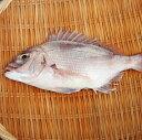 愛媛 ( マダイ ) 1.5-2kgサイズ 刺身 煮魚 焼魚 干物 下処理済み 送料無料 北海道、沖縄、東北は別途送料 宇和海の幸問屋
