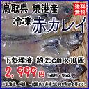 鳥取県 境港産 赤カレイ 冷凍 10匹 宇和海の幸問屋 送料無料