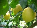 国産【和歌山・有田】無農薬✬完熟・木成りレモン1kg