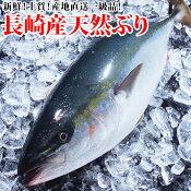 (送料無料)天然ブリ(ハマチ) 3kg前後1本鮮度よし!味よし!一本釣りで水揚げされた最高級品ぶり!(年末年始以外のお届け)(RCP)