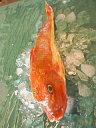 ホウボウ(ほうぼう) 計1kg(500g前後2尾)淡白な白身魚を刺身・塩焼き・煮つけで召し上がれ!【楽ギフ_包装】【楽ギフ_のし】【楽ギフ_のし宛書】【楽ギフ_メッセ】【楽ギフ_メッセ入力】【RCP】【140405coupon300】【05P06May14】
