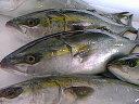 お刺身用!漁師も正月に必ず食べるこの極旨寒ぶり!送料無料【寒ブリ約6kg】養殖お刺身、しゃぶしゃぶ、照り焼きなどに