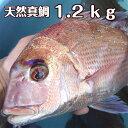 淡路島産天然マダイ1.2kg前後1尾(真鯛・タイ・たい)(桜ダイ・桜鯛)
