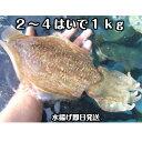 淡路島産針イカ(活〆)2〜4杯で約1kg(ハリイカ・針いか・はりいか)