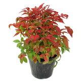 Otafukunanten将用他们美丽的地面覆盖在冬季红叶(我腮腺炎)[オタフクナンテン (おたふくなんてん)【RCP】【10p31aug14】]