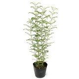 洋風ガーデンのシンボルツリーとして、大人気の植木です。シマトネリコ【RCP】
