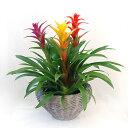 【送料無料】トロピカルな花色 実はパイナップルの仲間なんです。グズマニア ラウンドヤナギバスケット 3本立