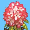 白色に濃いピンクの覆輪のボール状の大輪を咲かせます。【花木・ガーデニング・シャクナゲ・絞...