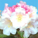 暑さ寒さにも強く、鉢植えに良い強健種です。【花木 苗 シャクナゲ】日本シャクナゲ 屋久島